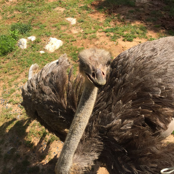 FollowGreg_Zoofari_Ostrich_Closeup