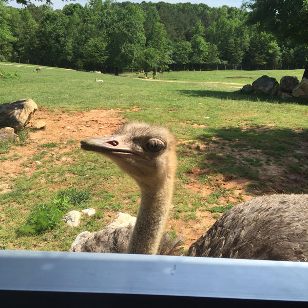 FollowGreg_Zoofari_Ostrich_encounter