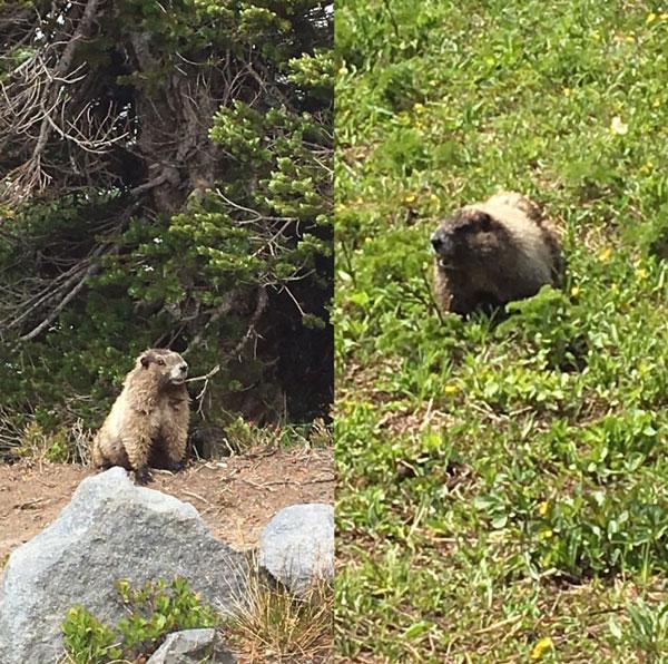 FollowGreg_MtRainier_Marmot